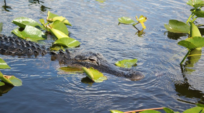 American Alligator; Everglades National Park, FL; 2014