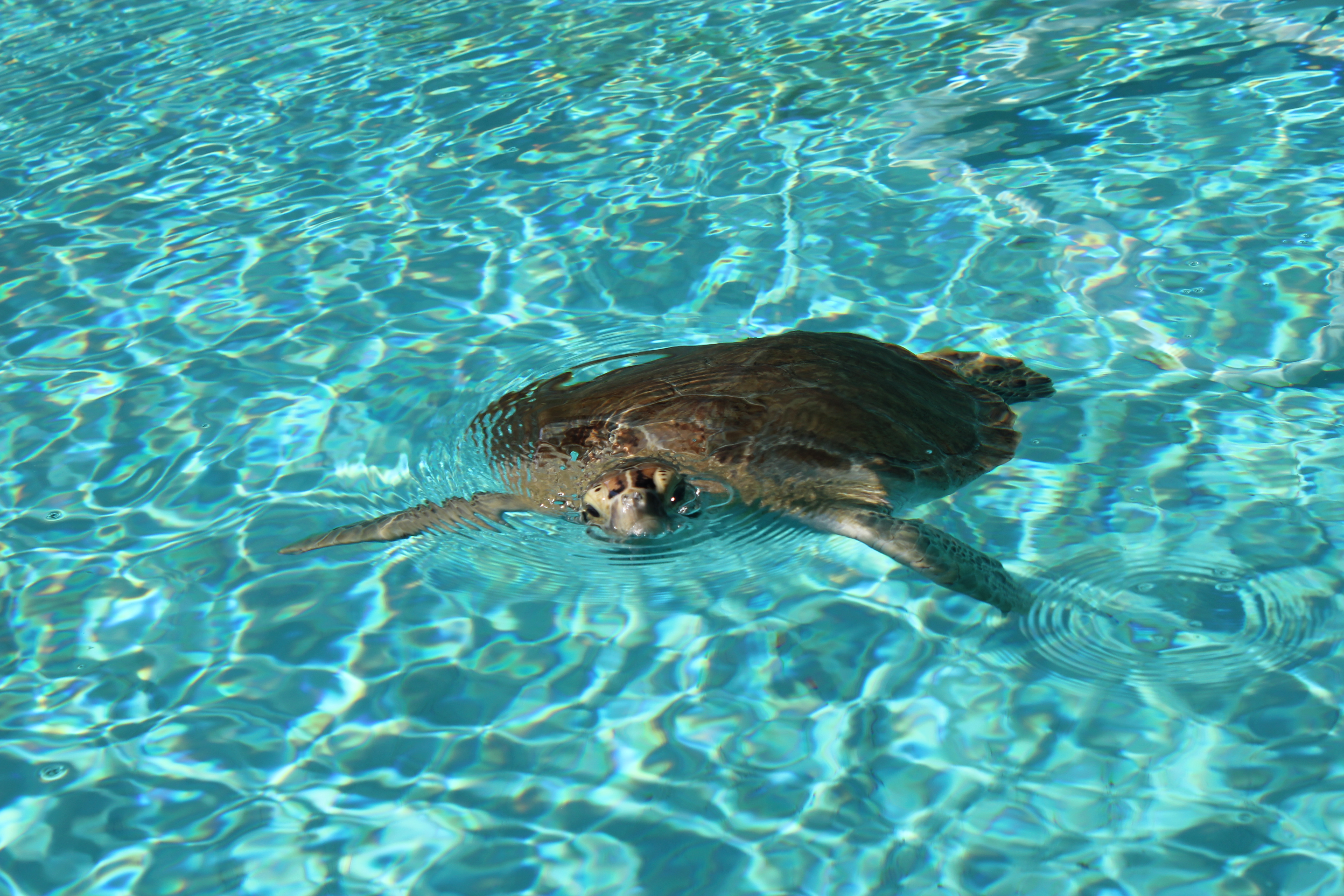 Sea Turtle Hospital Patient; Marathon Key, FL; 2014