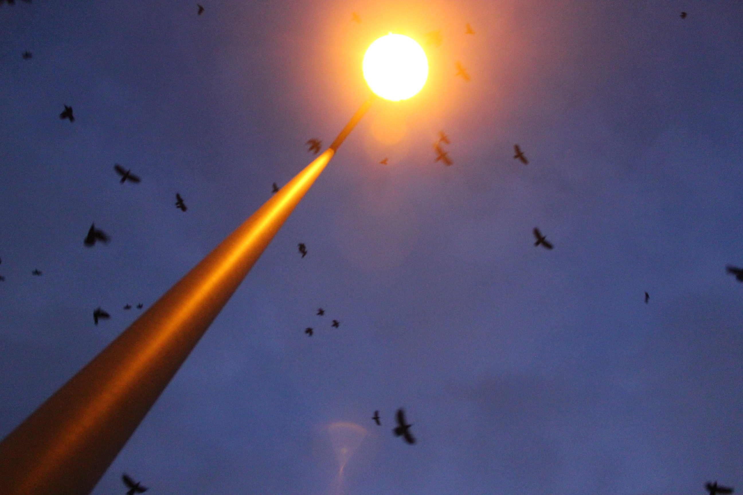 Bats in Street Light; Luxembourg City, Luxembourg; 2012