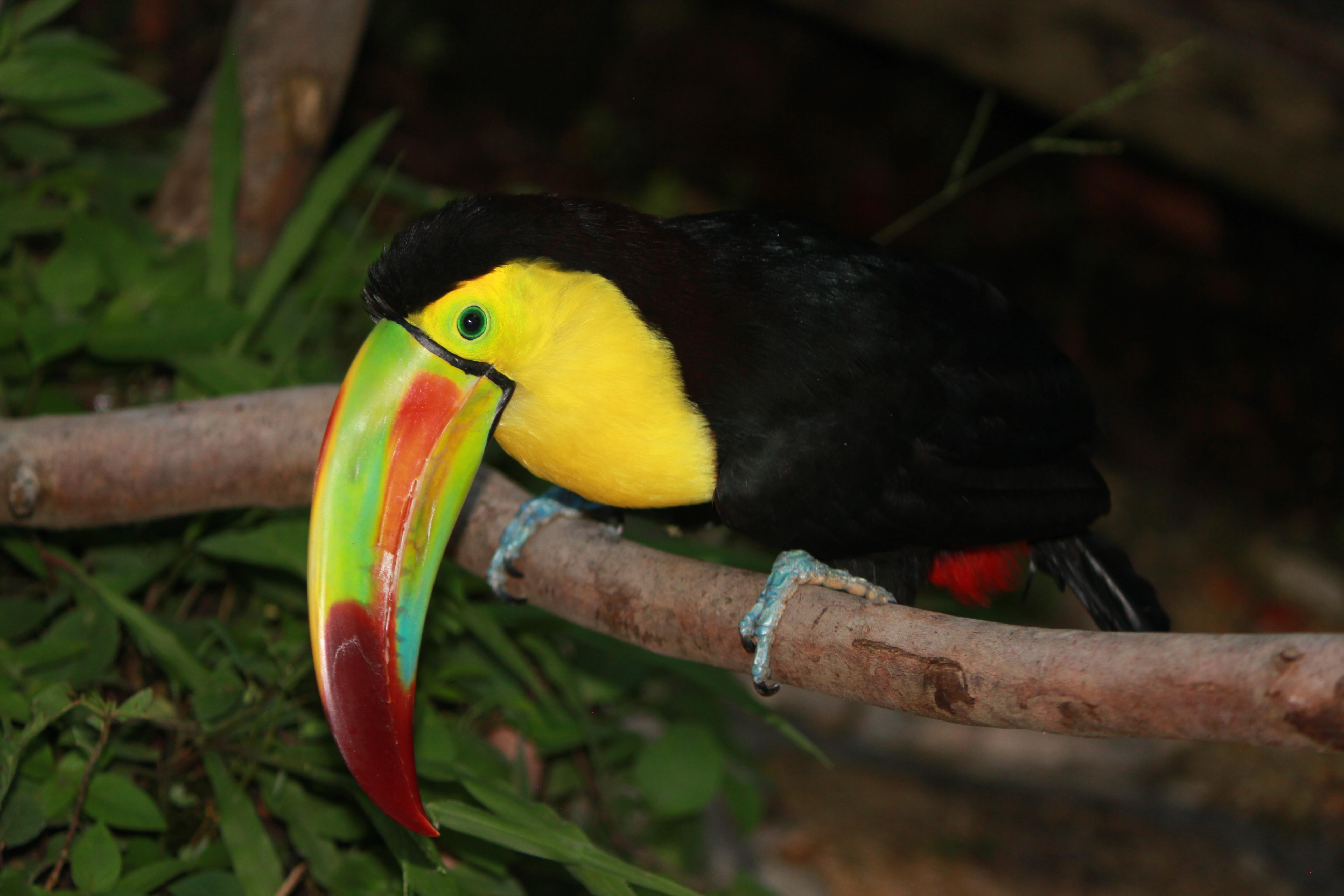 Toucan Chillin'; Honduras, Copan; 2013