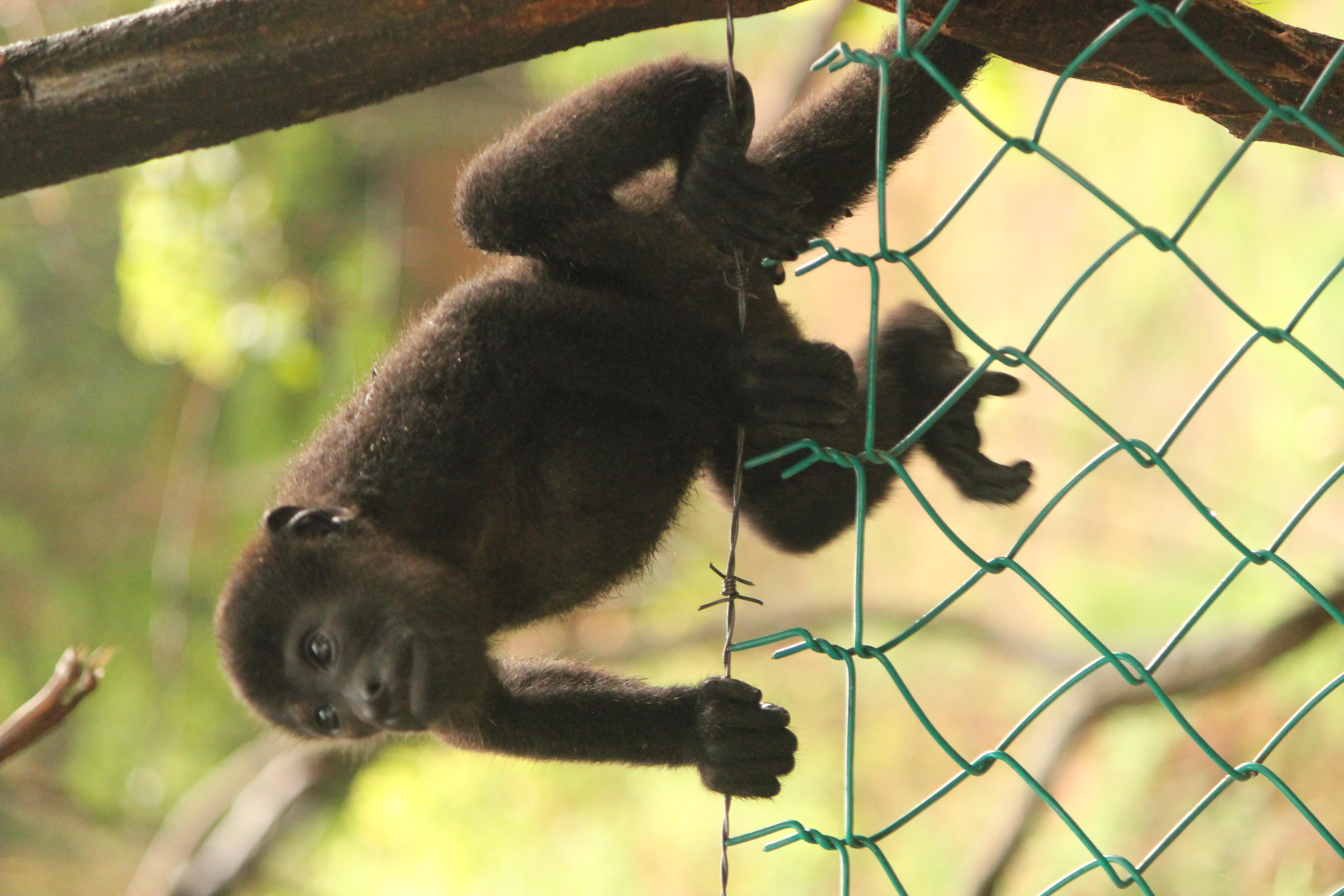 Hannah, Howler Monkey; Roatan, Honduras; 2013