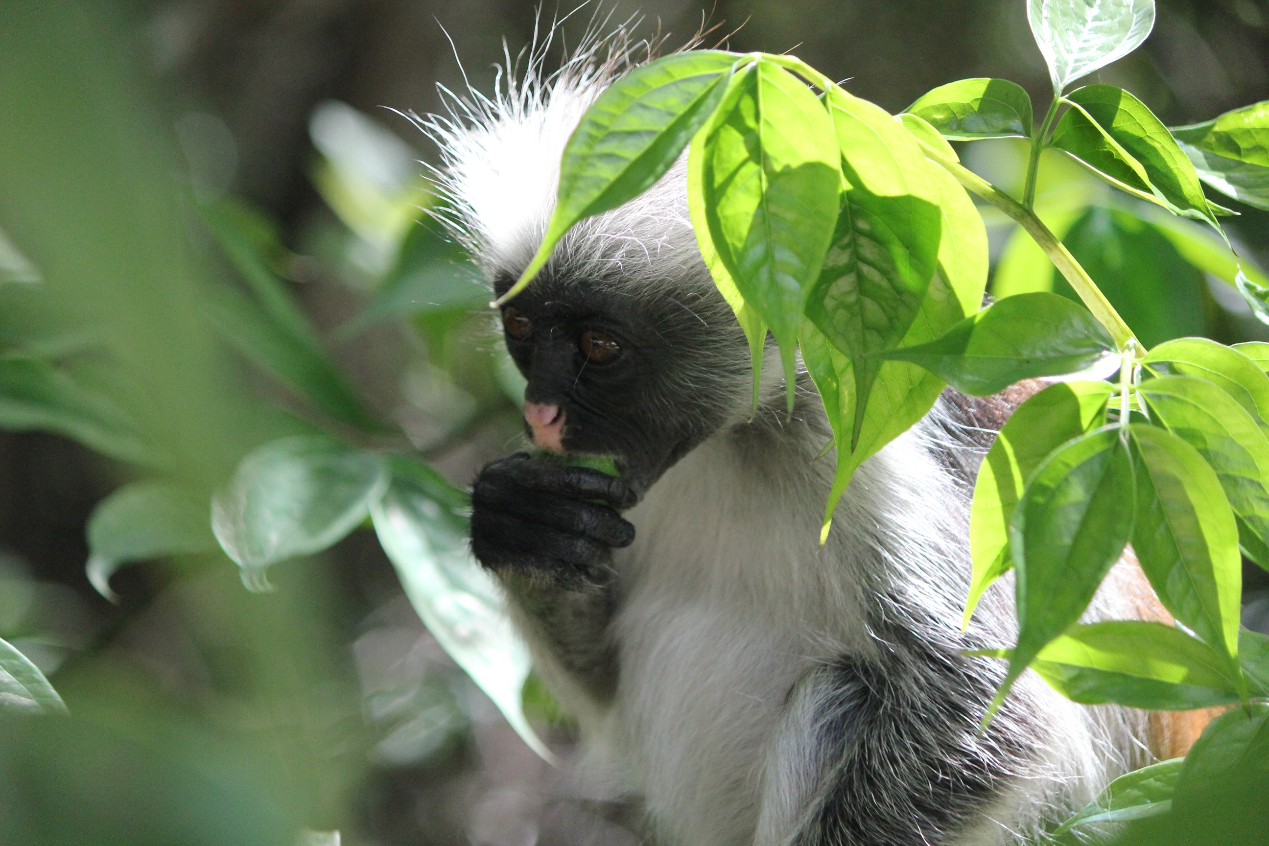 Red Colobus Monkey; Jozani National Forest, Tanzania; 2011
