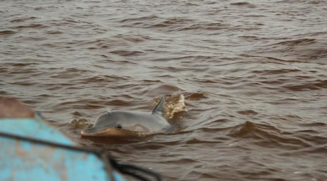 Pink River Dolphin; Paramaribo, Suriname; 2013