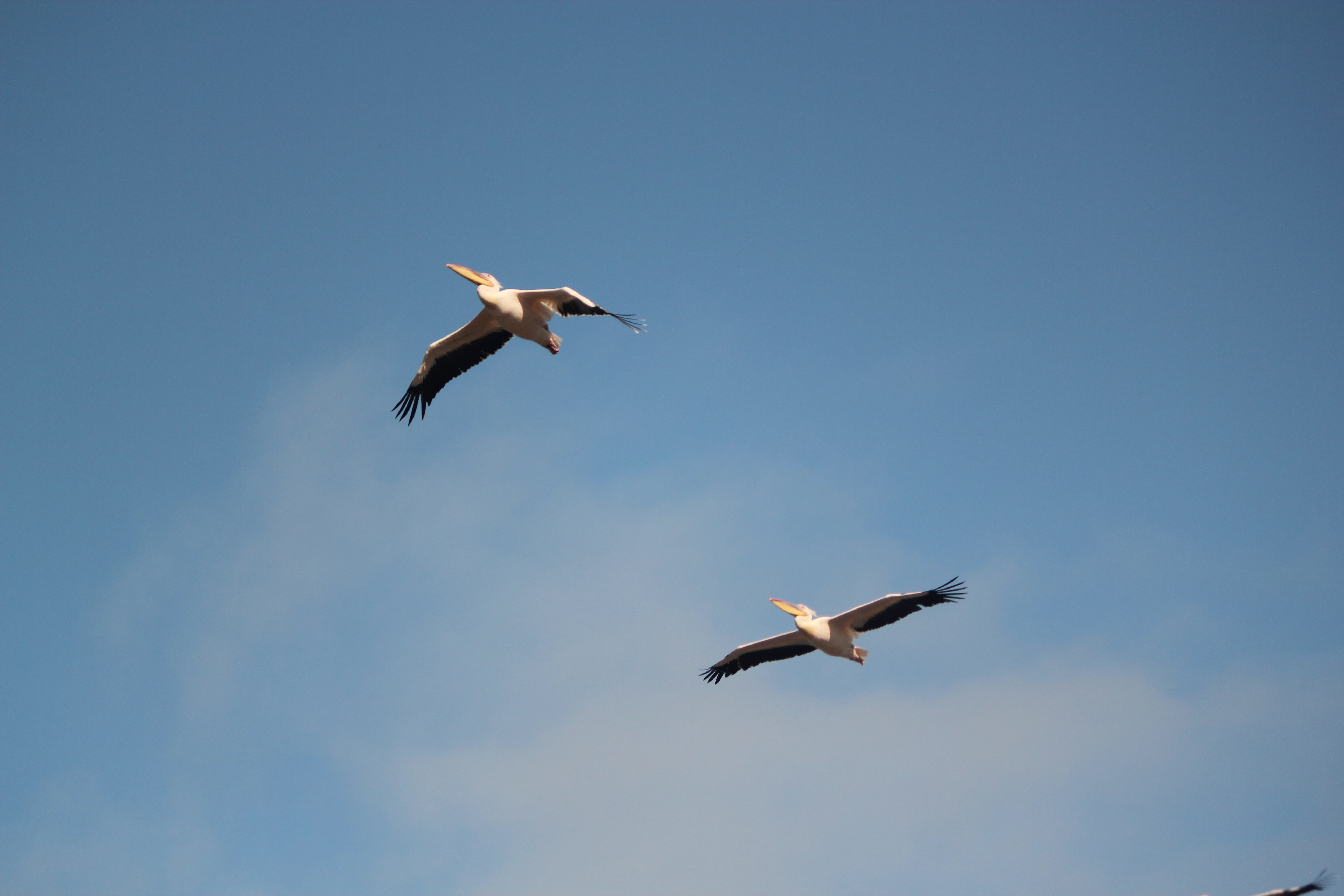 Pelican; Walvis Bay, Namibia; 2013