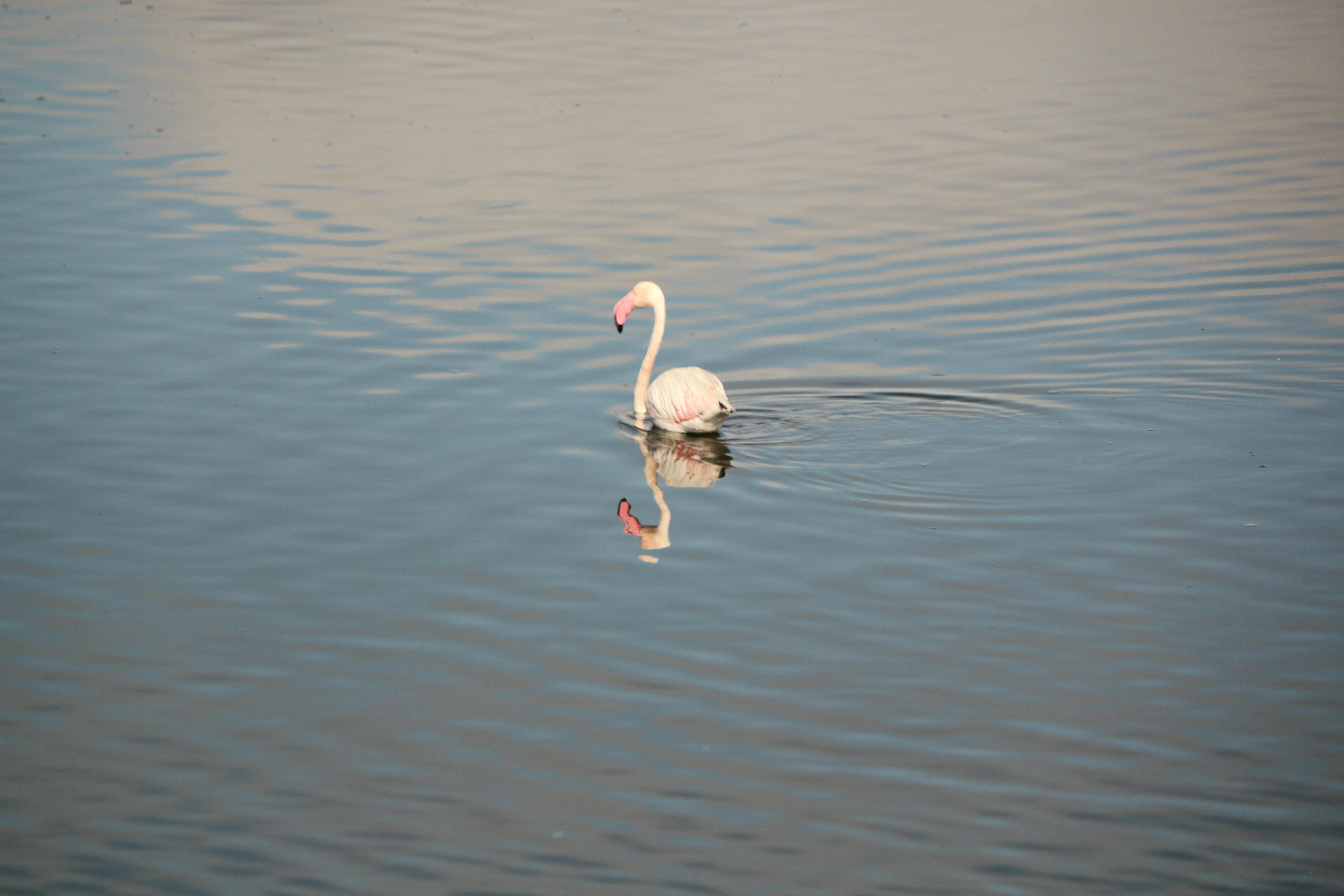 Flamingo Walvis Bay, Namibia; 2013