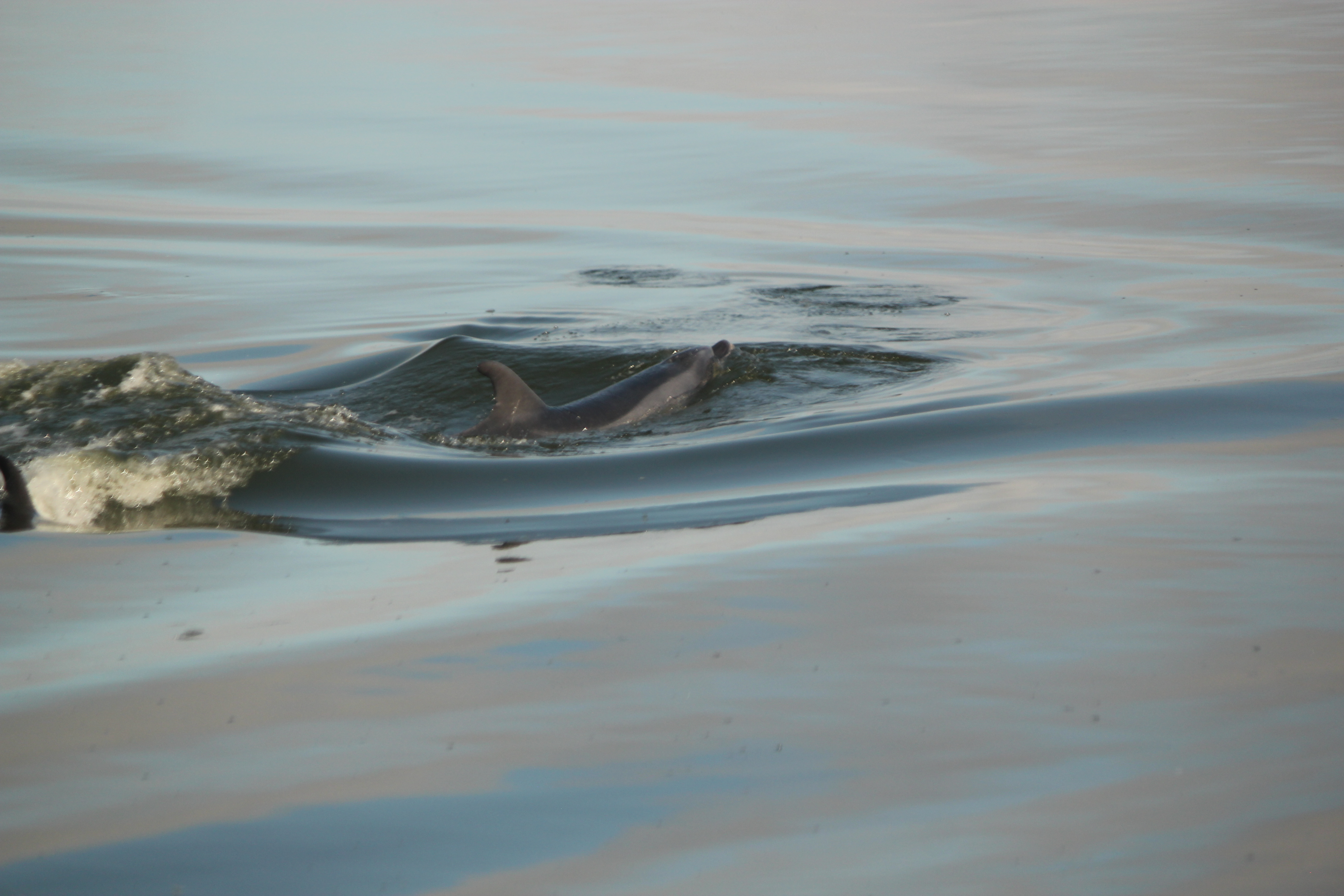 Bottlenose Dolphin; Walvis Bay, Namibia; 2013
