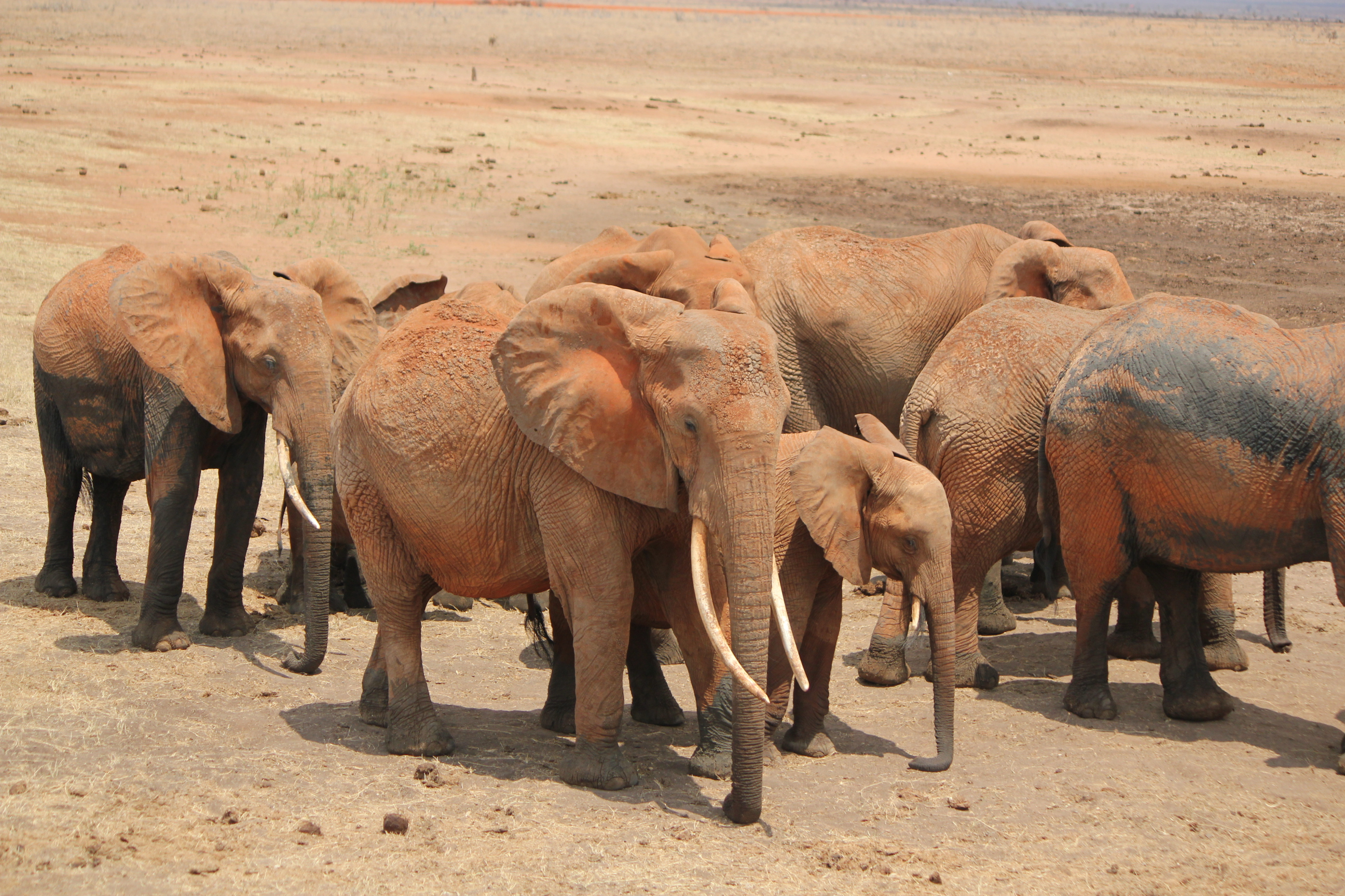 Elephants; East Tsavo National Park, Kenya; 2011