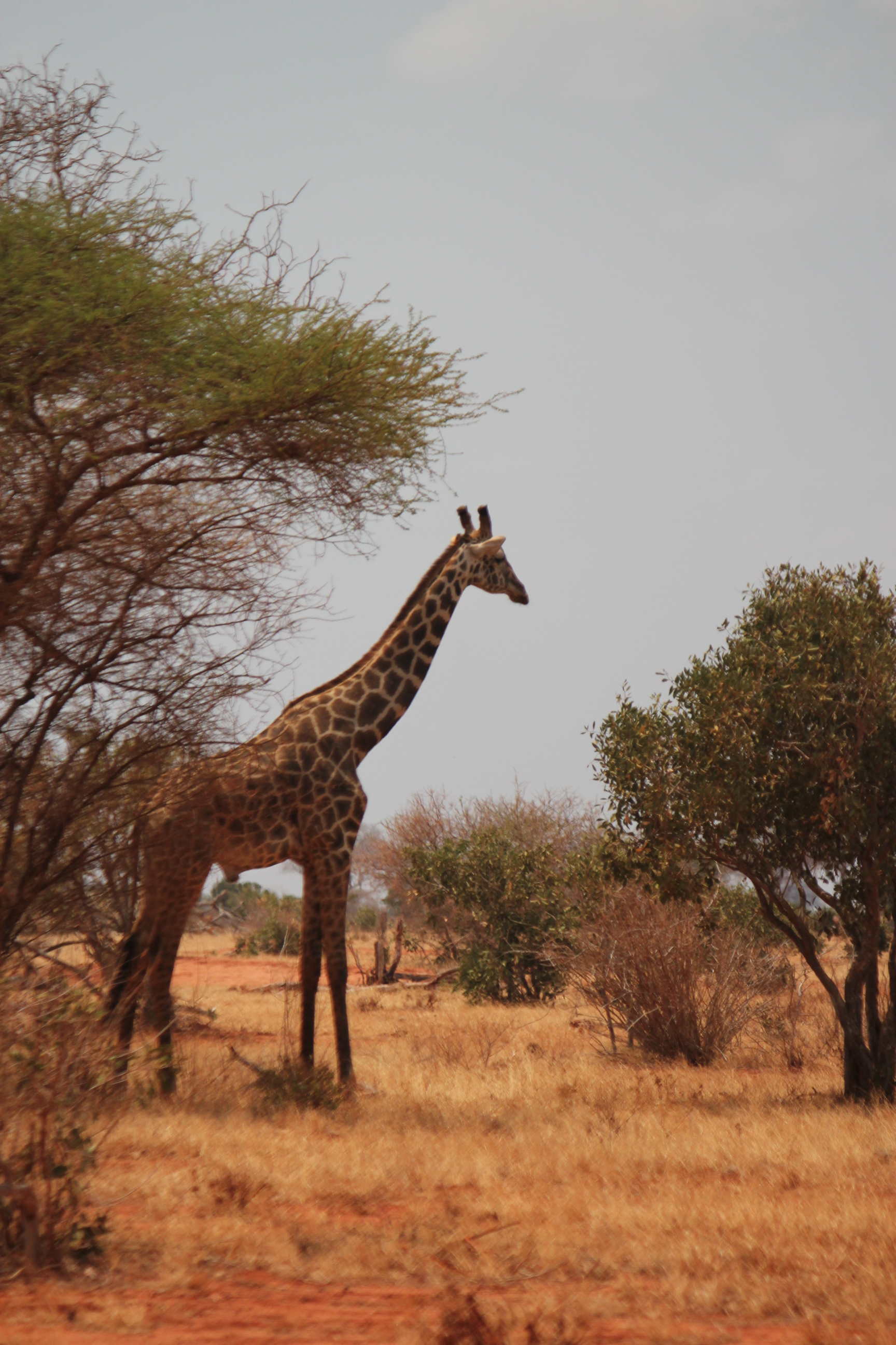 Giraffe; East Tsavo National Park, Kenya; 2011
