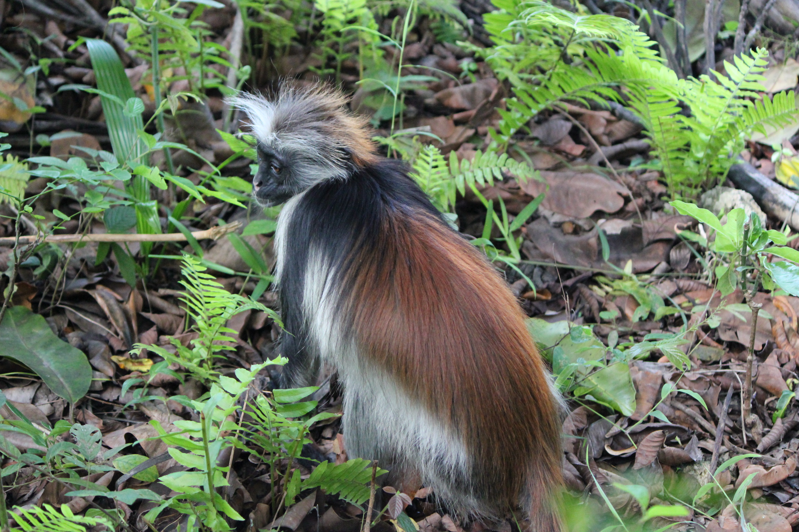 Red Colobus Monkey Red Coat; Jozani Chwaka Bay National Forest, Zanzibar, Tanzania; 2011
