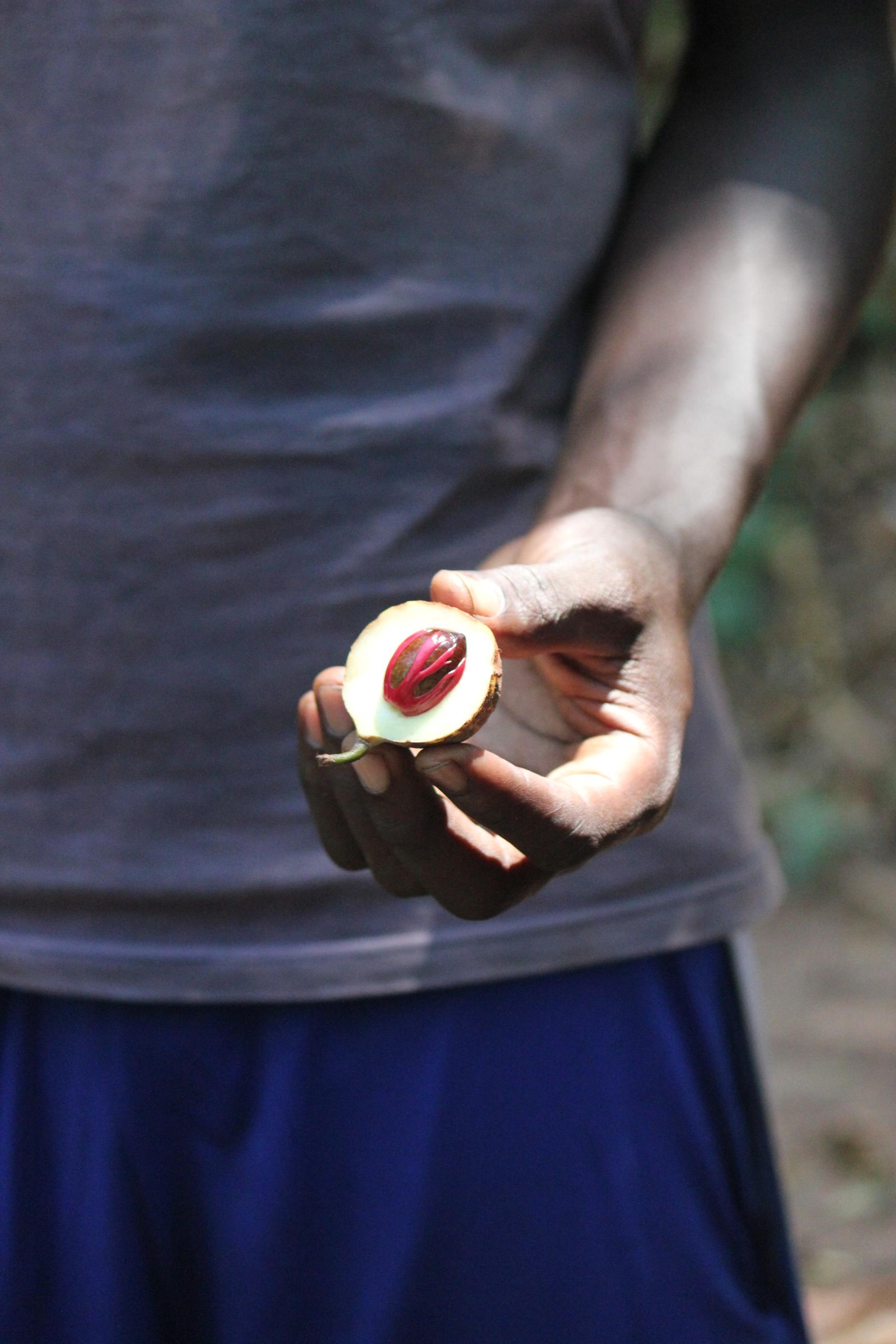 Red Nut in Fruit; Stone Town, Zanzibar, Tanzania; 2011