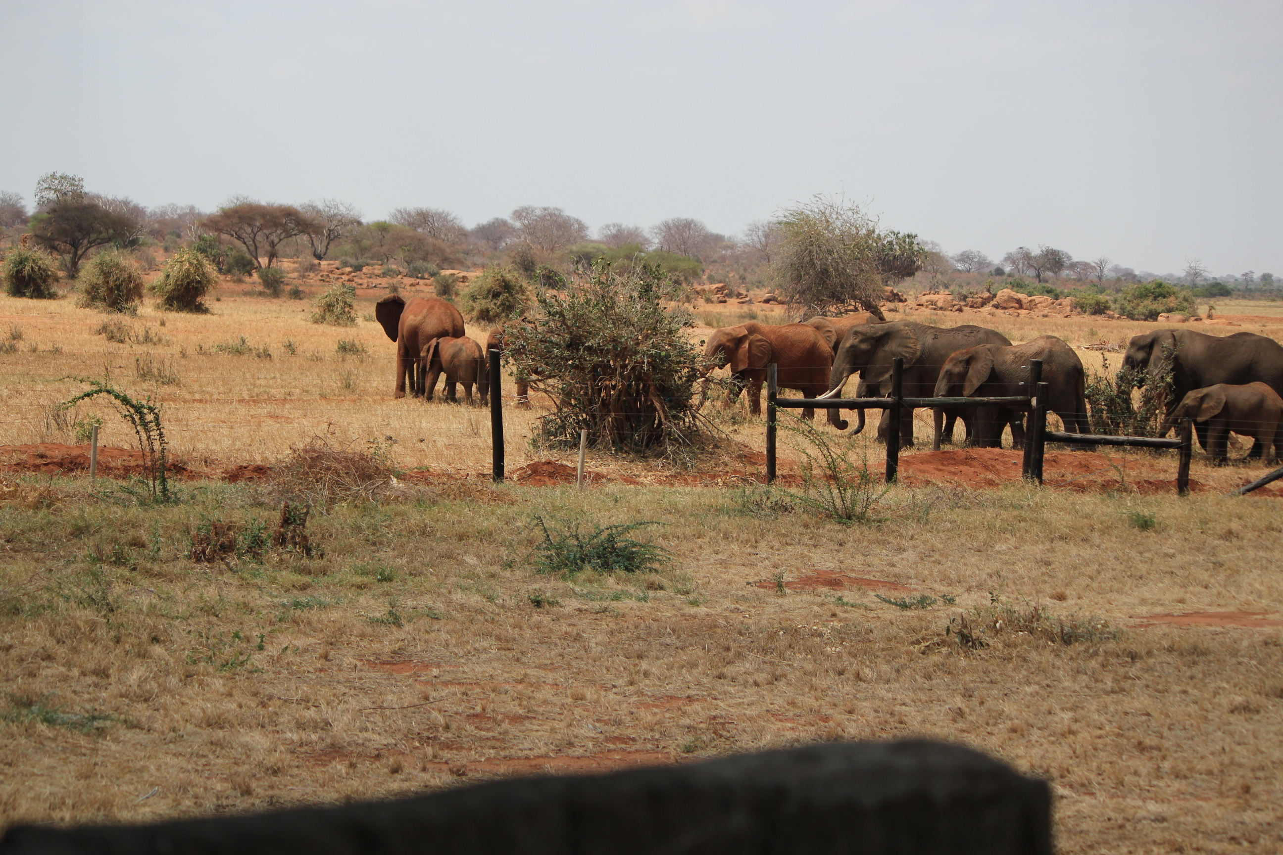 Elephants in the Backyard; East Tsavo National Park, Kenya; 2011