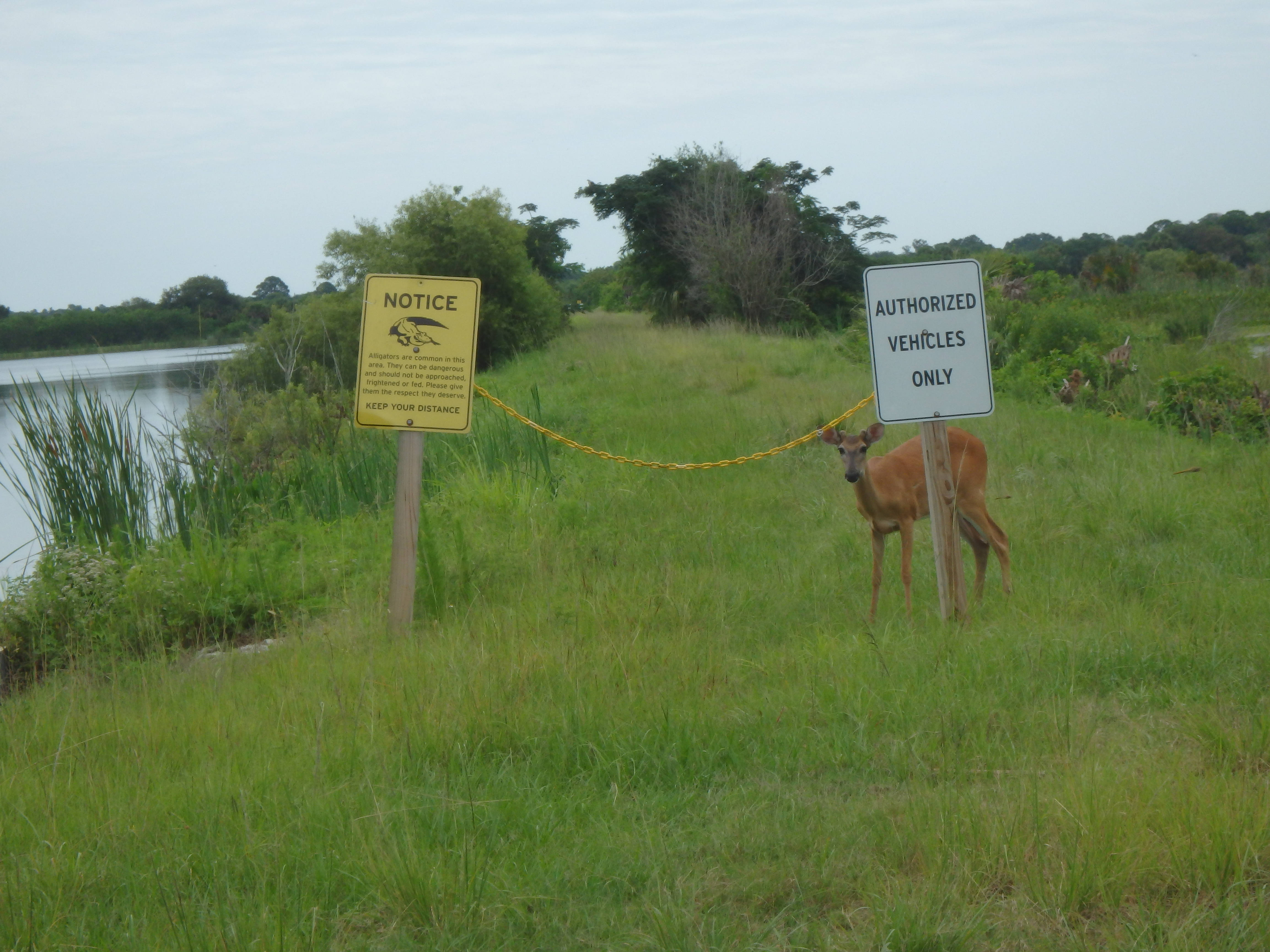 Deer in Florida's Wetlands; Titusville, FL; 2015