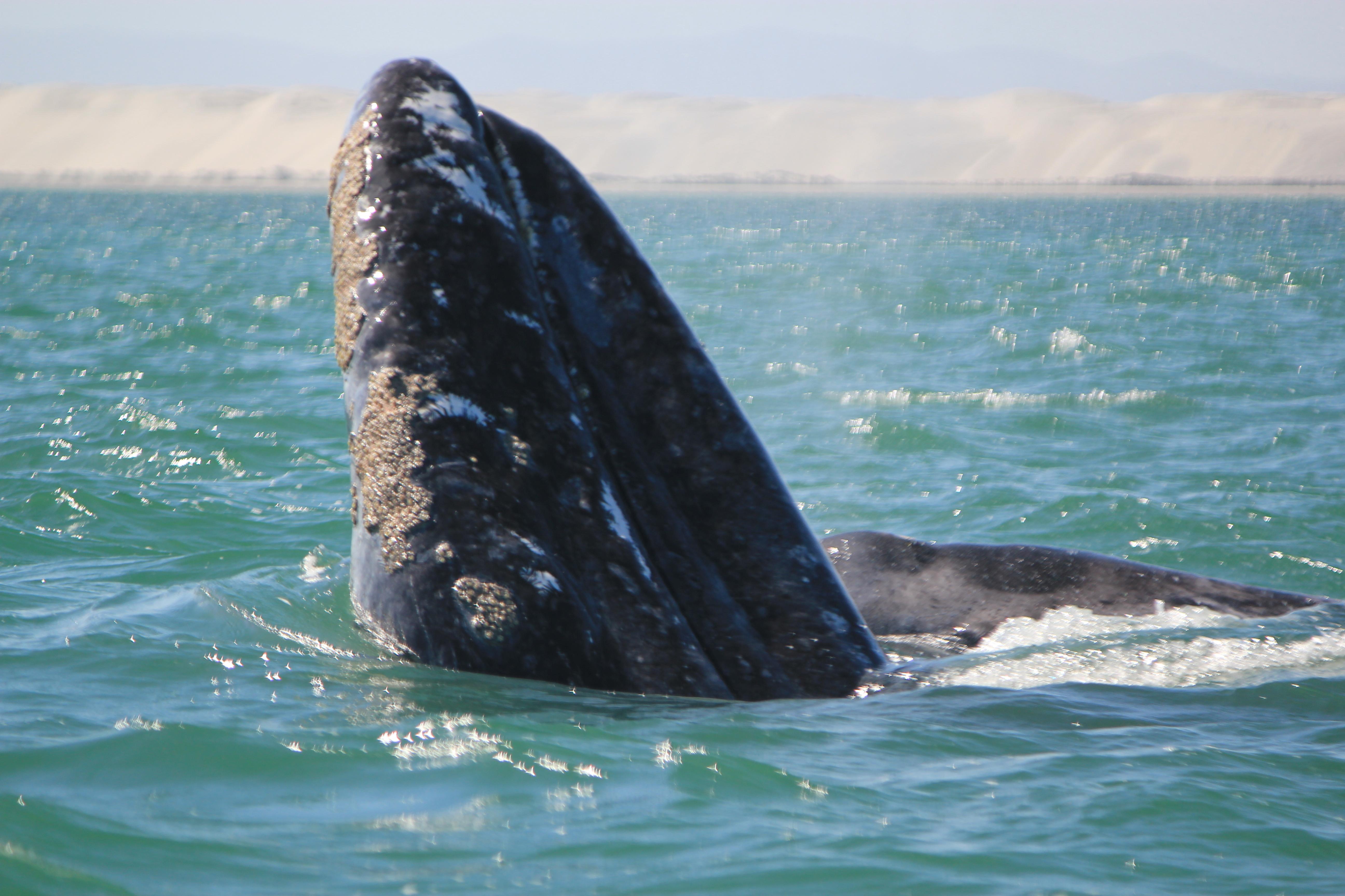 Grey Whales; Guerrero Negro, Mexico; 2012