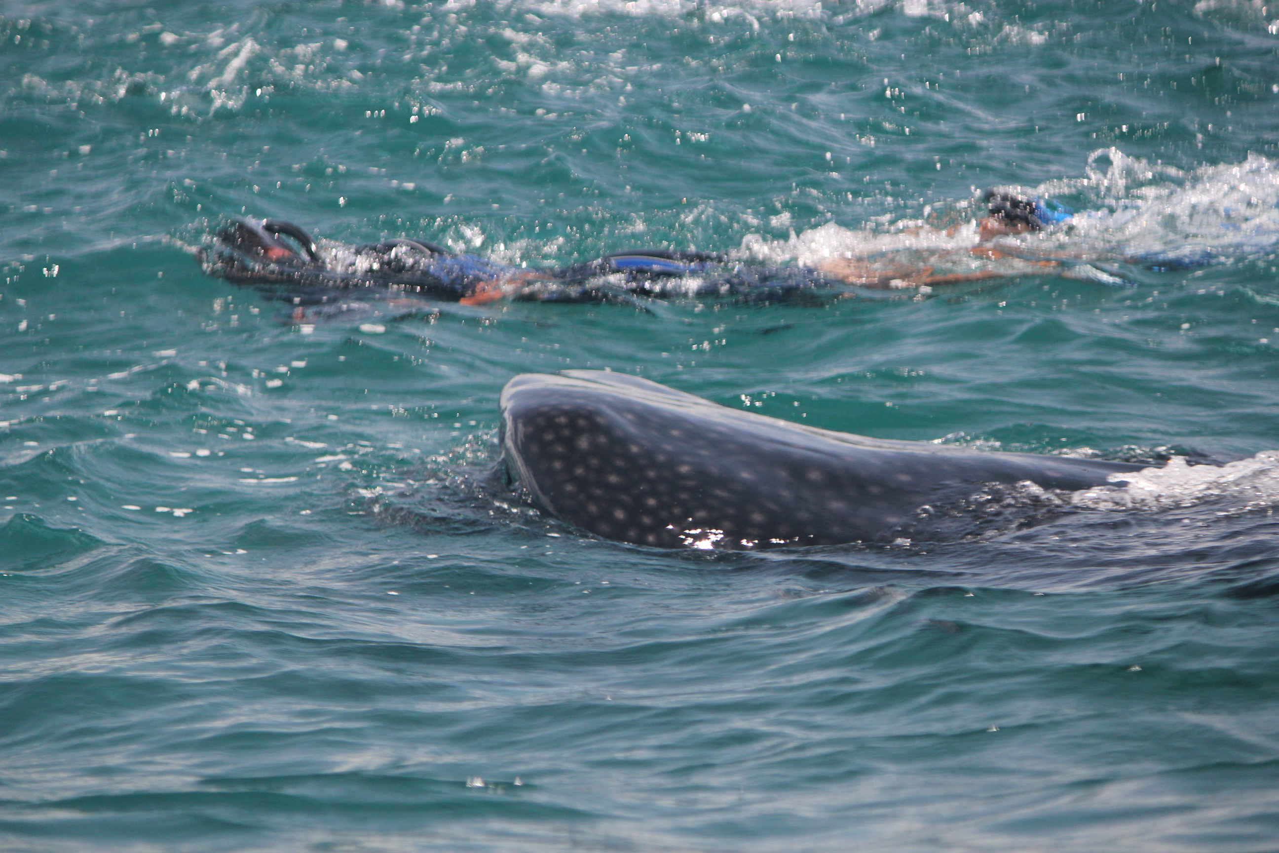 Whale Shark Expedition (Saying Hello); Cancun, Mexico; 2011